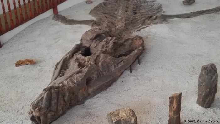 Esta especie es muy conocida gracias al ejemplar exhibido en el Museo El Fósil.