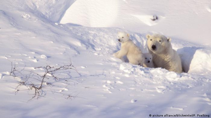 A female polar bear and two cubs emerge from the snow