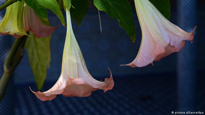 Angel's trumpet (picture alliance/dpa)