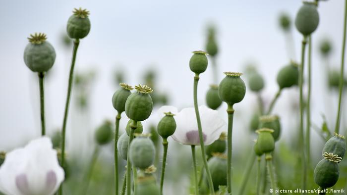 opium poppy (picture alliance/dpa/D.Ramik)