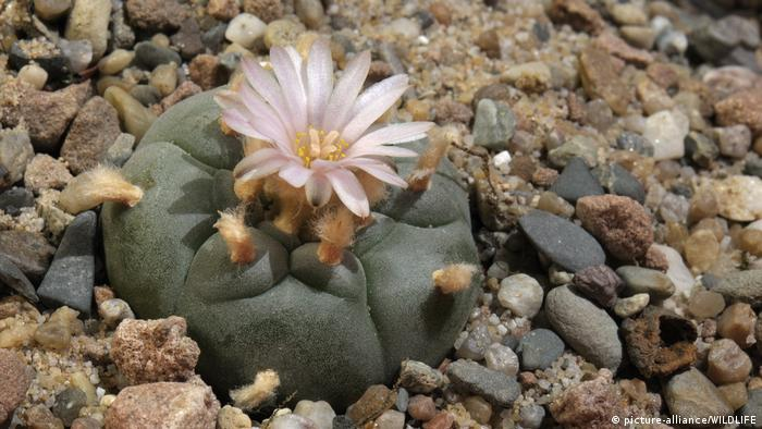 Peyote cactus (picture-alliance/WILDLIFE)
