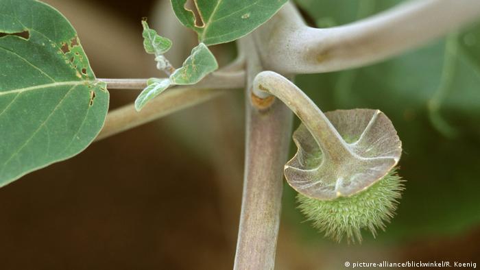 Datura inoxia, Datura inoxia, toloache, thornapple (picture-alliance/blickwinkel/R. Koenig)