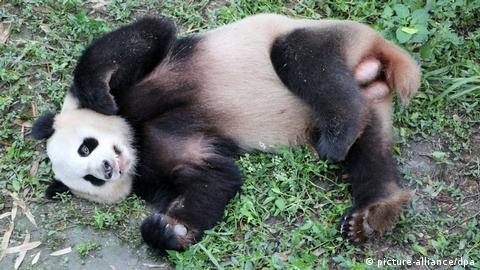China's panda for the Berlin Zoo (picture-alliance/dpa)