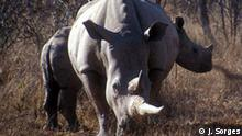 Botswana Land und Leute Nashorn im Nationalpark