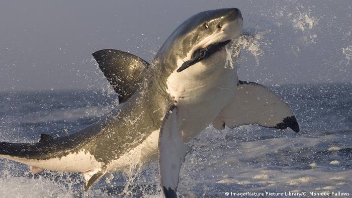 Tiburón de la especie Carcharodon carcharias, conocido como gris.