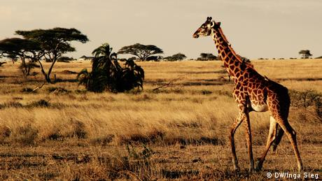 Giraffe in Tanzania. Photo credit: (DW/Inga Sieg)