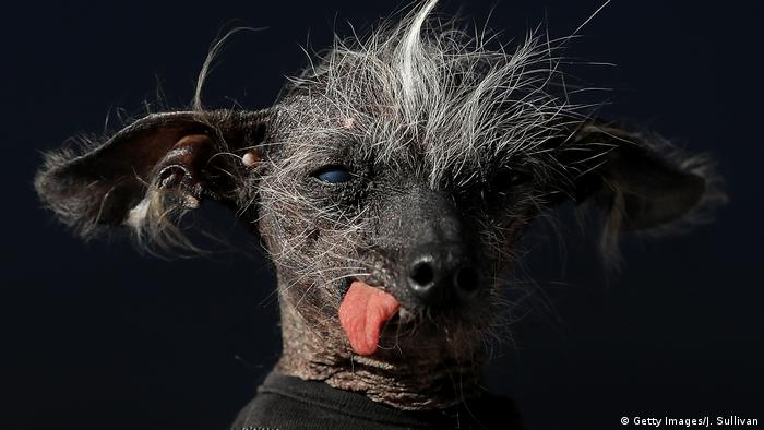 USA Kalifornien Wettbewerb Worlds Ugliest Dog (Getty Images/J. Sullivan)