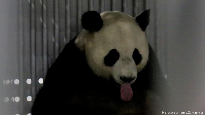 China Abreise Panda Jiao Qing nach Berlin (picture-alliance/Zumapress)