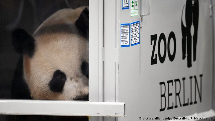 Deutschland   Pandas Meng Meng und Jiao Qing landen in Berlin
