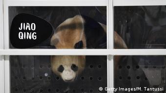 Pandas Meng Meng and Jiao Qing land in Berlin (Getty Images/M. Tantussi)