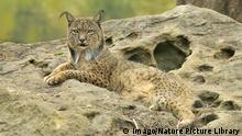 Iberischer Luchs (Imago/Nature Picture Library)