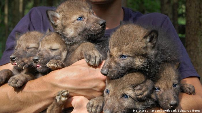 Wolf pups in a wildlife park being hald in a person's arms (picture-alliance/dpa/Wildpark Schwarze Berge)