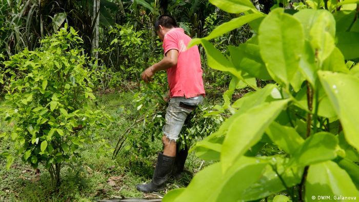 Kolumbiens Kokabauern brauchen Alternativen (DW/M. Galanova)