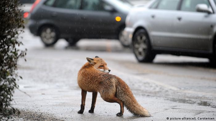 a picture of a fox in Berlin