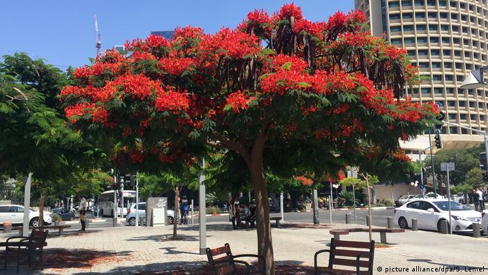 Flammenbaum Färbt Tel Aviv Rot
