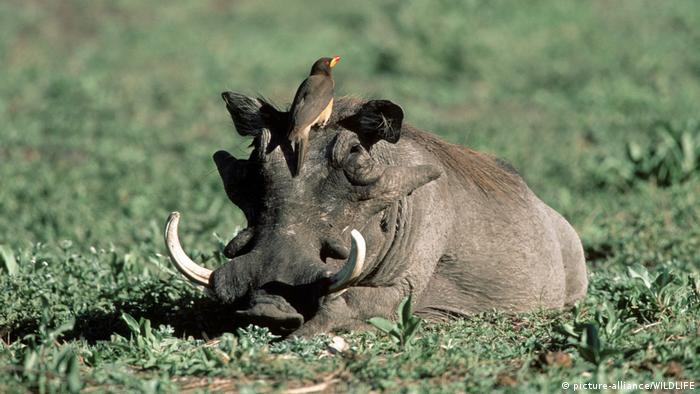 Ein liegendes Warzenschwein mit einem Vogel auf dem Kopf (picture alliance)