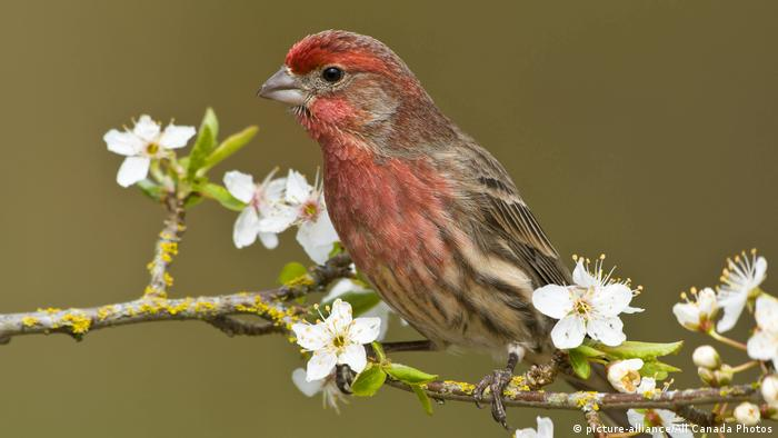 House finch on a plum blossom tree branch