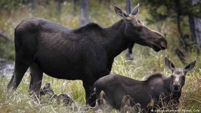 Elk mother with calf (picture-alliance/AP Photo/J. Cole)