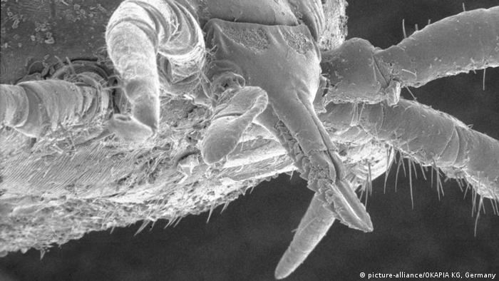 Close up of the head of a tick