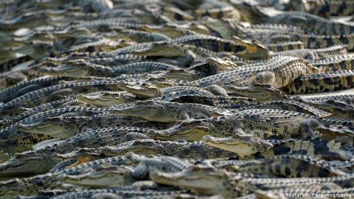 Scores of crocodiles at a farm in Thailand