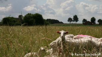 Deutschland Schafe bei Scheeßel