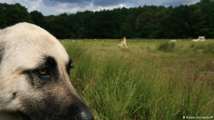 A livestock guardian dog guarding a sheep pasture