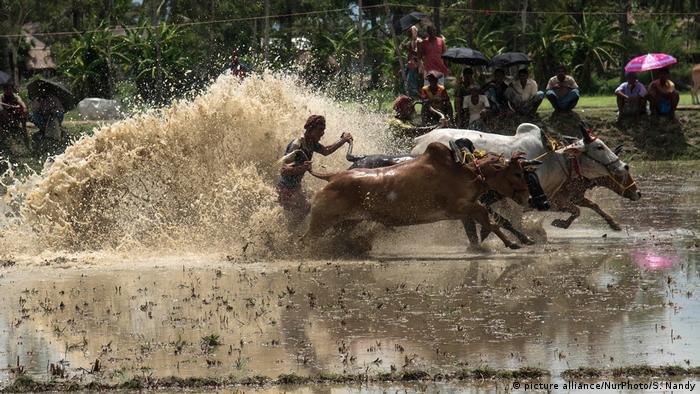 Viehrennen in Indien (picture alliance/NurPhoto/S. Nandy)