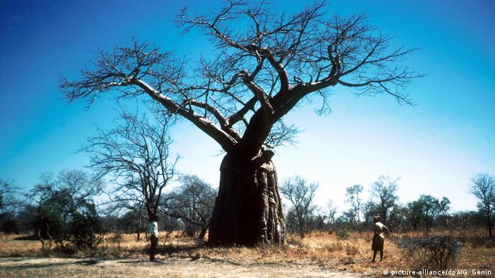 A tall baobab tree with two people looking up at it. (picture-alliance/dpa/G. Genin)