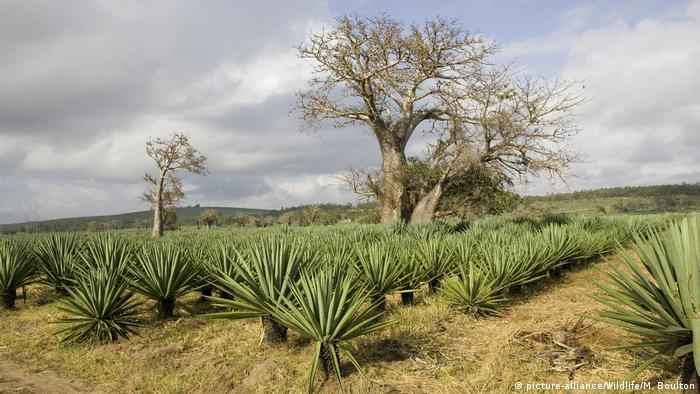 Kenia Affenbrotbaum in Sisal-Agaven-Plantage
