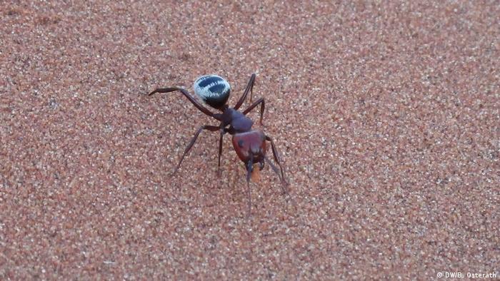 Wüstenameise in der Namib (DW/B. Osterath)
