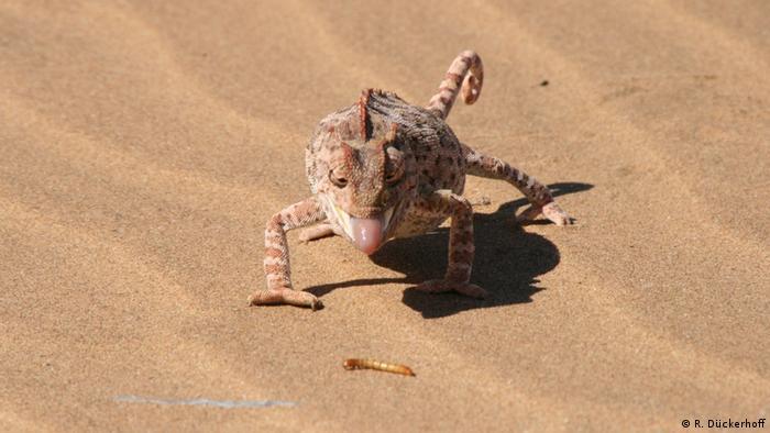 Namaqua Chamäleon in der Namib (R. Dückerhoff)
