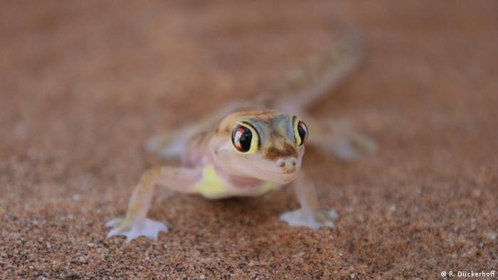 Namibgecko (R. Dückerhoff)