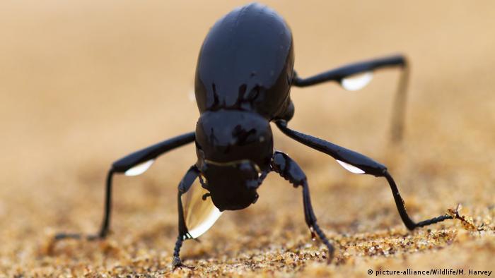 Fog basking beetle in Namib desert (picture-alliance/Wildlife/M. Harvey)