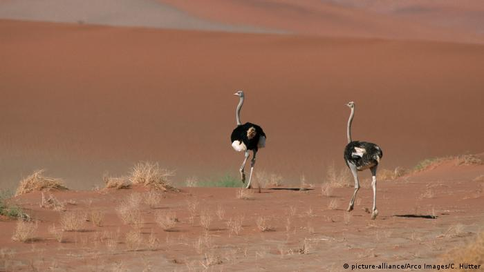 Ostriches in the Namib desert (picture-alliance/Arco Images/C. Hütter)