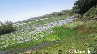 Wasserhyazinthen Lake Tana Äthiopien
