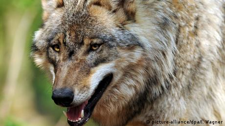 Wolf (picture-alliance/dpa/I. Wagner)