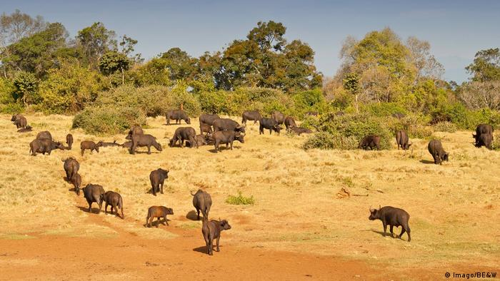 A herd of large Cape buffalos.