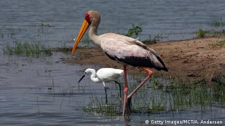 A yellow-billed stork and an egret on the shore of a lake in Selous