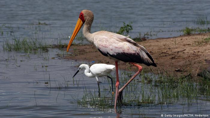 Tansania Selous Nationalpark Storch (Getty Images/MCT/A. Anderson)
