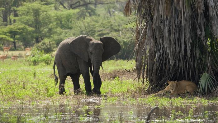 Tansania Selous Nationalpark Elefant begegnet Löwe