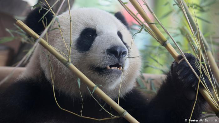 Panda in bamboo (Reuters/A. Schmidt)