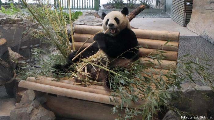 Panda eating bamboo in Berlin (Reuters/A. Schmidt)