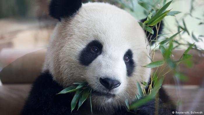Berlin Willkommenszeremonie Pandabären (Reuters/A. Schmidt)