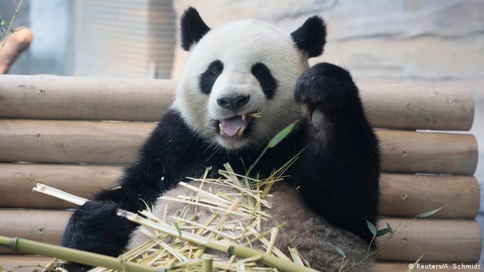 Panda eating bamboo (Reuters/A. Schmidt)