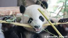 Berlin Willkommenszeremonie Pandabären