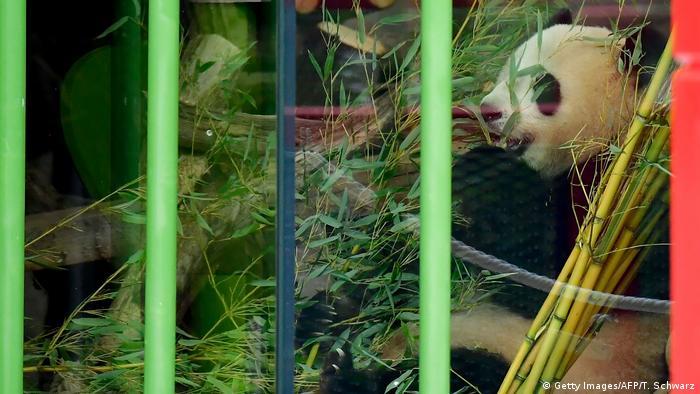 Berlin Willkommenszeremonie Pandabären (Getty Images/AFP/T. Schwarz)