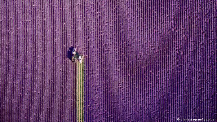 Жером Куртьяль поднял свой беспилотник над лавандовым полем в Провансе, когда в поле выехал трактор для сбора урожая.