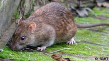 Bildergalerie Rattenplage in Südgeorgien