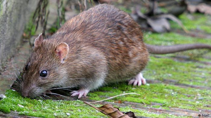 South Georgia fights a plague of rats | All media content