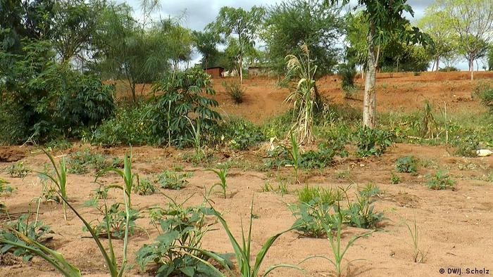 Terreno de um pequeno agricultor queniano afetado pela seca